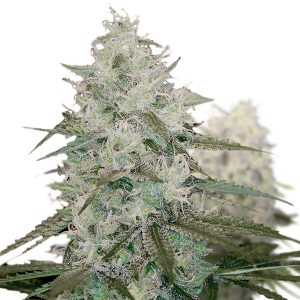 WHITE QUEEN FEMINIZED